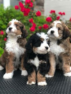 """Check out some of the similarities and differences between the Bernedoodle breed and the Sheepadoodle breed. At Crockett Doodles, we commonly get asked the question, """"Which is better a Bernedoodle or a Sheepadoodle? Cute Baby Animals, Animals And Pets, Funny Animals, Animals Kissing, Funny Dogs, Cute Dogs And Puppies, I Love Dogs, Doggies, Cutest Dogs"""