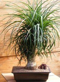 Ponytail Palm Bonsai Tree - Beaucarnea recurvata