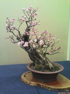 慶雲館で開催されている『2011年長浜盆梅展』