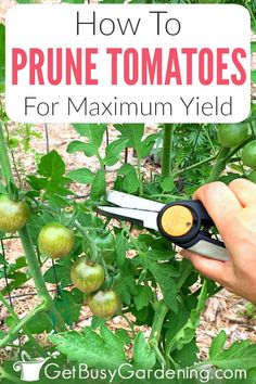If your tomato plants become overgrown and tall every summer, but don't produce much fruit, then it's time to bring out your pruning shears. Getting into the habit of trimming tomato suckers and leaves. Garden Cactus, Fruit Garden, Edible Garden, Fruit Plants, Garden Plants, Trimming Tomato Plants, Tomato Pruning, Caring For Tomato Plants, Veggie Gardens