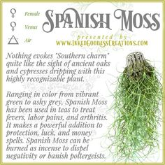 ~ Spanish Moss ~ This isn't actually a moss at all, nor is it parasitic! It's a flowering plant in the Bromeliad family. It grows on trees and gets its nutrients from the rain, air, and debris in its environment. Magic Herbs, Herbal Magic, Plant Magic, Green Witchcraft, Magick Spells, Wiccan, Witch Herbs, Eclectic Witch, Spanish Moss