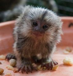 Isn't this tiny marmoset from the Brisbane Australia's Alma Park Zoo just the cutest thing you've ever seen?