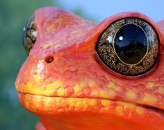 What Big Eyes You Have - An orange frog with a closeup shot of it's head.
