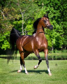 SkyeHawkk (Magnum Psyche x Alada Khlasse VS) 2009 Bay Stallion