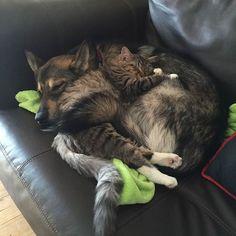 """orangeflower08 on Twitter: """"ハスキーが動物シェルターから""""引き取った""""子ネコ 動物シェルターには候補となる子ネコが4匹いたそうだが、ハスキーは、この子ネコだけに興味をもったらしい。相性ってあるんだなぁ。 「バースデーパーティーを祝う」「寝るときもいっしょ」 https://t.co/8STrlvyett"""""""