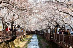 Jinhae Gunhangje Fastival(진해 군항제) with cherry blossom fastival, Korean travel place
