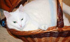 použít pro maximální lesk olej (slunečnicový, kokosový..něco bez vůně). Troškou Laundry Basket, Wicker, Organization, Homemade, Cats, Animals, Getting Organized, Organisation, Gatos