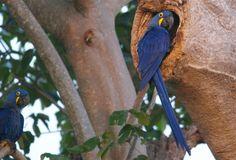 Hyacinth Macaw, south Pantanal, Brazil | Flickr - Photo Sharing!