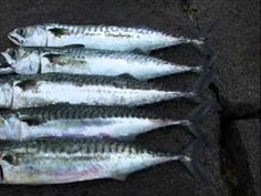 Mackerel fishing at Newhaven Harbour.