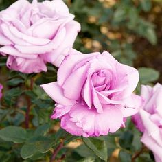 Fragrant Plum  Noteworthy for its color (lavender blushing to smoky purple at the edges) and its sweet scent (rich and plum-like), 'Fragrant Plum' is a hybrid tea that bears almost perfectly shaped flowers that look stunning in a vase.  Size: To 6 feet tall and 4 feet wide  Zones: 5-9