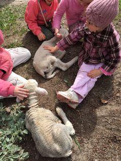Enjoying the sunshine together - Kindergarten children and our little poddy lambs.