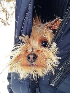 18 Reasons Yorkshire Terriers Are The Worst Dogs To Live With Animals And Pets, Baby Animals, Funny Animals, Cute Animals, Love My Dog, Yorkshire Terriers, Yorkies, Cute Puppies, Dogs And Puppies