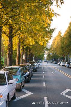 Metasequoia Road, Changwon, South Korea