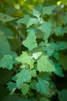 Weed Identification Guide Lamb's-Quarter Type: Broadleaf annual Size: To 4 feet… Weeds In Lawn, Garden Weeds, Herb Garden, Lawn And Garden, Garden Plants, Weed Plants, Invasive Plants, Poisonous Plants, Weed Types
