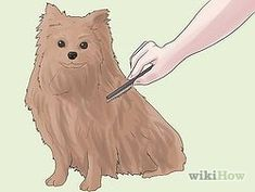 Groom a Pomeranian Step by Step