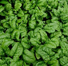 You can plant spinach and lettuce seed directly into the ground or a planter in April (in Western New York) as soon as the ground can be worked. You can plant lettuce every two weeks to get a continuous crop. It may not like hot summer weather, but if you keep it well watered and a little bit shaded, it will grow.