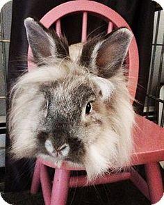 Morristown, NJ - Lionhead. Meet Snowflake, a pet for adoption. http://www.adoptapet.com/pet/17450472-morristown-new-jersey-rabbit
