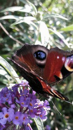 Op mijn vlinderstruik
