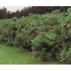 ROSA RUGOSA häck 10-pack (Lev. från 25/9) Garden, Lawn And Garden, Gardens, Outdoor, Home Landscaping, Tuin