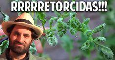 Cosas del Jardin: Por que se retuercen las hojas de las tomateras?