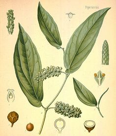 PIPERACEAE, also known as the pepper family, are a large family of flowering plants. The group contains roughly 3,600 currently accepted species in 13 genera.