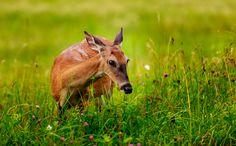 wild friend, deer friend, smokey mountain, mountain wildlif, new friends, smoki mountain