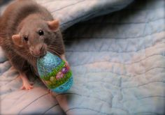 Pet rat easter egg <3