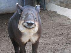 smiling tapir