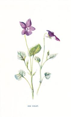 1900 Botany Print - Dog Violet - Vintage Antique Flower Art Illustration Book Plate Natural Science Great for Framing 100 Years Old. $10.00, via Etsy.