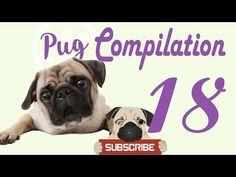 Pug Compilation 18 - Funny Dogs Compilation 2017 | Best Funny Dog Videos Ever -  #dogs #funnydogs #puppy #doglover #animals #pet #cute #pets #animales #tagsforlikes Stop Your Dog's Behavior Problems! Click HERE to learn how! Funny Pet Videos presents a brand new weekly compilation featuring the funniest dog and puppy videos, clips, outtake, bloopers and moments caught... - #Dogs