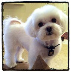 Find Out More On The Affectionate Yorkshire Terrier Pup And Kids Maltese Haircut, Puppy Haircut, Cute Puppies, Cute Dogs, Dogs And Puppies, Doggies, Dog Haircuts, Maltipoo Haircuts, Dog Hairstyles
