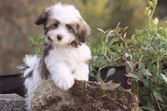 An old breed, the Havanese is really a descendent of breeds brought to Cuba from Spain and could also be connected to the Tenerife, an ancestor in the entire Bichon loved ones. Bichon Havanais, Havanese Puppies, Cute Puppies, Dogs And Puppies, Poodle Puppies, Retriever Puppies, Maltipoo, Beautiful Dogs, Animals Beautiful
