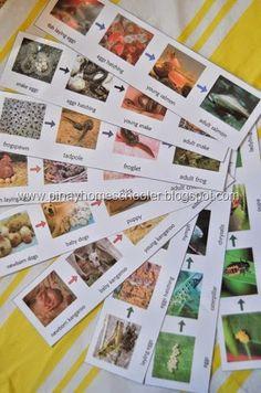 FREE Animal Life Cycles Printable