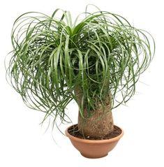 Cheval Palm 10 graines tropical-Beaucarnea recurvata-éléphants pied Bonsai