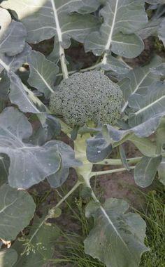 Salat Im Garten Anbauen | Ab Ins Beet | Pinterest | Garten Blattsalat Pflanzen Pflege Tipps Garten