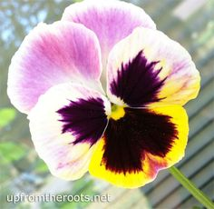 Pink, Purple and Yellow Pansy