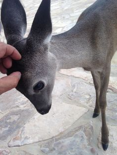 Baby deer wants scratches via aww on March 25 2019 at Nature Animals, Animals And Pets, Baby Animals, Funny Animals, Cute Animals, Art Nature, Cute Creatures, Beautiful Creatures, Animals Beautiful