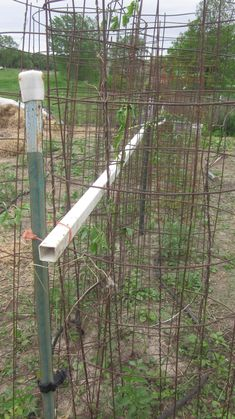 Here's our first double row of tomato cages, supported by t-posts and PVC posts.