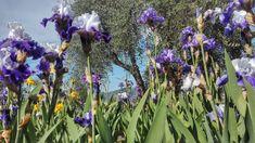 Primavera a Firenze per me è anche una visita al Giardino dell'Iris