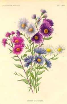 Vintage illustration aster