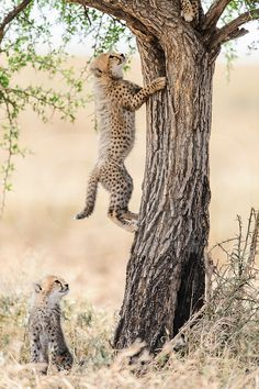 Cheetah (Acinonyx jubatus), young cub watching sibling climb acacia tree, Ndutu, Ngorongoro Conservation Area, Tanzania.