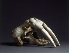 A Fine Walrus Skull with Tusks (1800 to 1900	North American)