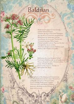 Heilpflanzen Baldrian www. Plant Illustration, Botanical Illustration, Greenhouse Gardening, Healing Herbs, Types Of Flowers, Medicinal Plants, Book Of Shadows, Aquaponics, Alternative Medicine