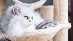 September is Happy Cat Month! While we love making our kitties happy every month of the year, it's a great time to try some new things to treat our cats like the royalty they are. Cat Farm, American Shorthair Cat, Cat Steps, Cat Scratching Post, Wooden Cat, Like A Cat, Cat Treats, White Cats, Cat Sitting