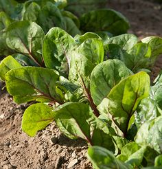 Red Kitten Spinach (F1). Baby leaf in the early spring or full size in fall and winter.