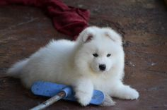 Am I cute? ☺️☺️☺️     #samoyed #samoyedpuppy #teachingmagnus
