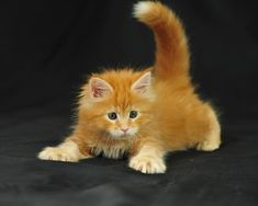 The Maine Coon is a breed of domestic cat with a distinctive physical appearance and valuable hunting skills. It is one of the oldest natural breeds in North America, specifically native to the state of Maine, The Maine Coon is noted for its large bone structure, rectangular body shape, and long, flowing coat.