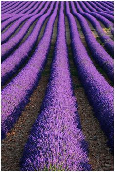 Lavender field in Provence, brings back memories of summer nights spent stripping dried blossoms off their stems to make sachets.