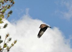 Red-Shouldered Hawks of Tingsgrove and Beyond: Yellowstone National Park...Osprey