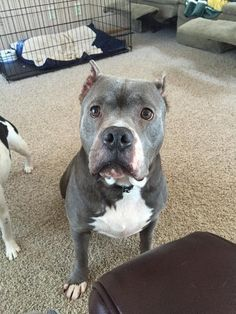 Meet Pippa, a Petfinder adoptable Pit Bull Terrier Dog | Saint Louis Park, MN | Thank you for stopping by to see me!  Please check below to see what upcoming adoption events I...